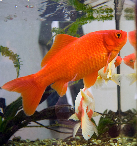 Les 10 meilleurs poissons pour d buter avec un petit for Bassin pour poisson rouge