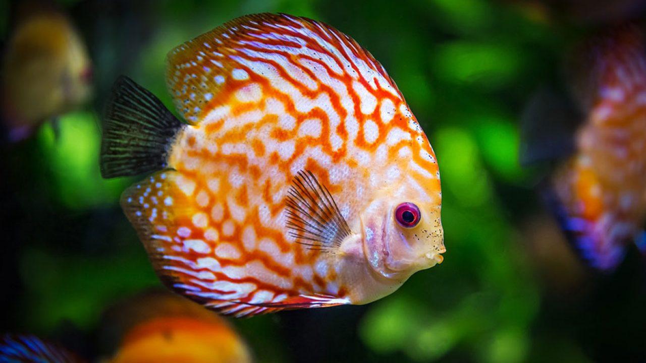 Les 10 Meilleurs Poissons Pour Debuter Avec Un Petit Aquarium Les10meilleurs Fr